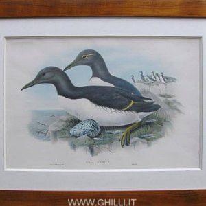gould-john-uria-troile-litografia-a-colori-londra-1862-1873-2795