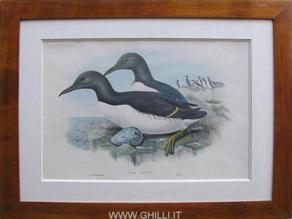 Gould John Uria Troile Litografia a colori Londra 1862-1873