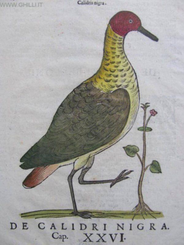 Ulisse Aldovrandi, Bird. Hylography