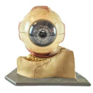 Modello Anatomico di un Occhio