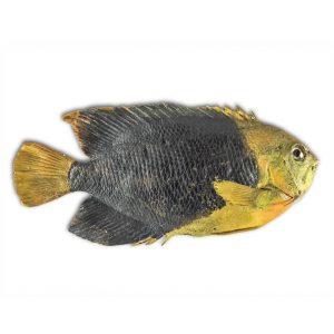 Modello di Pesce Tropicale A184