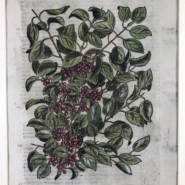 Xilografia antica, Spina Infettoria, dall'erbario del Mattioli, 1585.