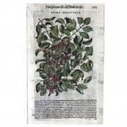 Xilografia antica, Spina Infettoria, dall'erbario del Mattioli, 1585 a