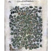 Xilografia antica, Uva Spina, dall'erbario del Mattioli, 1585 c
